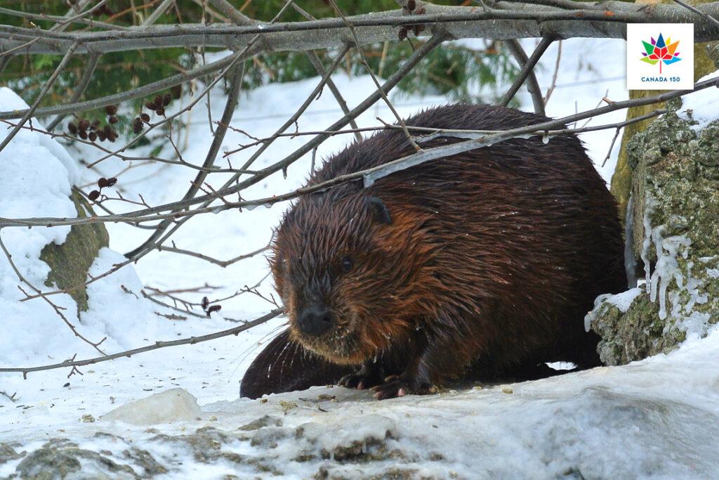 SickKids and University of Toronto map the beaver; Trimtag Trivia Quiz category: Science & Naturec